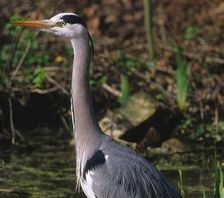 Hole 1 : The Grey Heron (Ardea Cinerea)