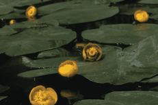 Hole 11 : Yellow Pond Lily (Nuphar Lutea)