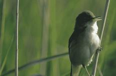Hole 18 : The Eurasian Reed Wrabler (Acrocephalus Scipaceus)