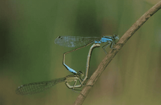 Hole 8 : Damselfly & Drogonfly (Coenagrionidae and Odonata)