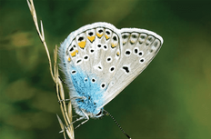 Hole 2 : Common Blue (Polyommatus Icarus)