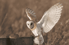Hole 3 : Barn Owl (Tyto Alba)
