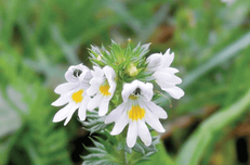 Hole 4 : Drug Eyebright (Euphrasia Sticta)
