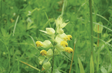 Hole 5 : Great Yellow-Rattle (Rhinanthus Angustifolius)