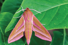 Hole 8 : Elephant Hawk-Moth (Deilephila Elpenor)