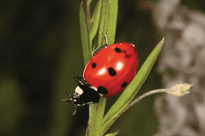 Hole 9 : Seven-Spot Ladybird (Coccinella Septmpunctata)